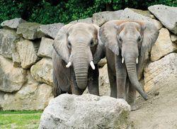8 Afrikanischer Elefant Tiergarten Schoenbrunn African Elephant Zoo Vienna Daniel ZupancWEB