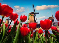 Tulpenblute 01